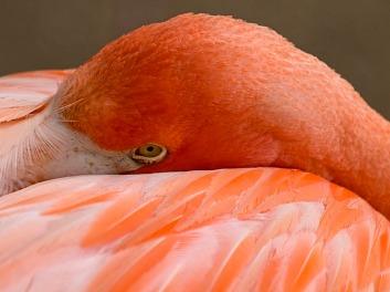 Flamingo Stare 1